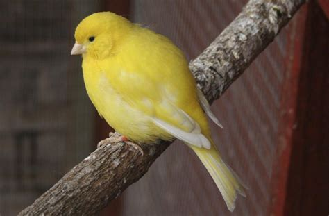 canary vs parakeet understanding which makes a better pet
