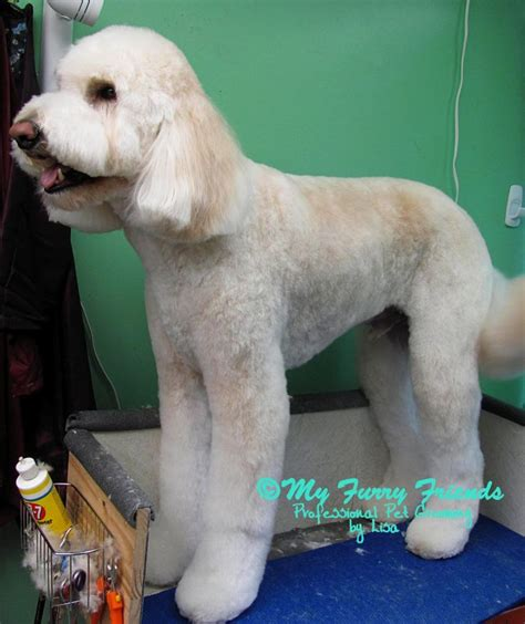 how to bathe a goldendoodle puppy 10 ideas about goldendoodle grooming on