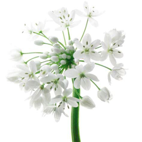 allium spray white flower