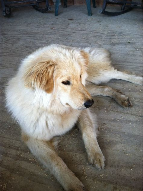 pyrenees golden retriever mix pin golden retriever great pyrenees mix puppies on