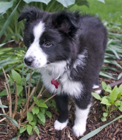 border collie australian shepherd mix puppies scout the border collie mix puppies daily puppy