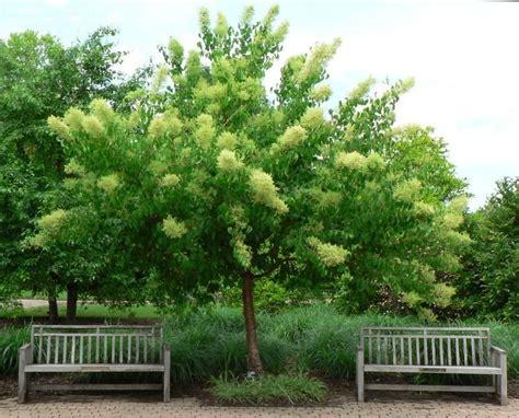 lilac tree information plantfiles pictures pekin lilac pekin tree lilac morton