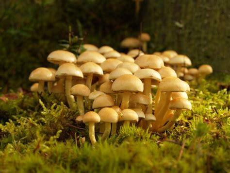 imagenes hongos ingles hongos mitofago entretenimiento politicamente incorrecto