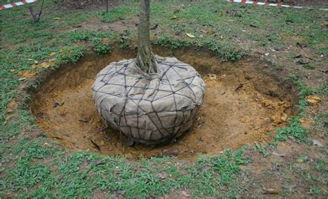 root balled trees gardenscapes by joanna proper tree care