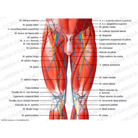 dolore interno coscia inguine muscoli della coscia anatomia