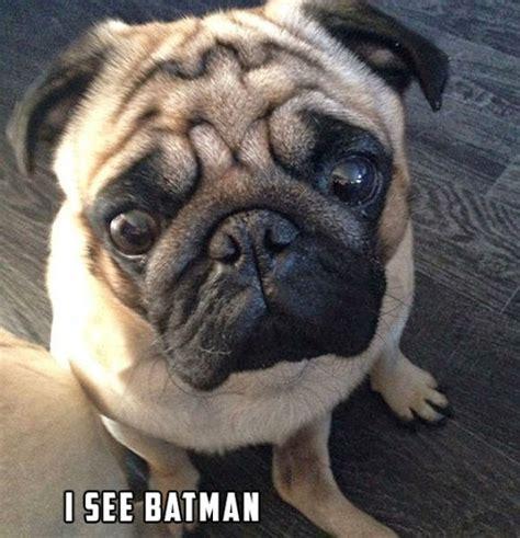 batman pug amyoops batman pug