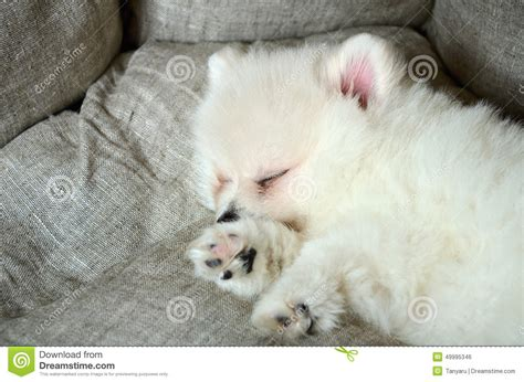 pomeranian bed pomeranian puppy sleeping in the bed stock photo image 49995346