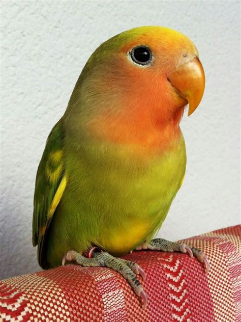 1000 images about bird peach faced lovebird on pinterest