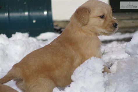golden retriever puppies boston ma golden retriever puppy for sale near boston massachusetts 8d590a1f d1a1