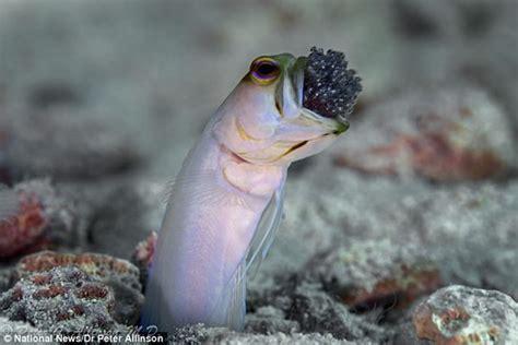 los peces de la peces machos que protegen sus cr 237 as llev 225 ndolos en su boca fotos planeta curioso