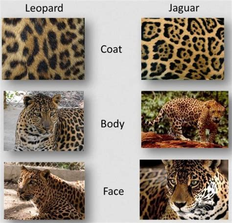 what s the difference between a jaguar and 17 best images about wildlife
