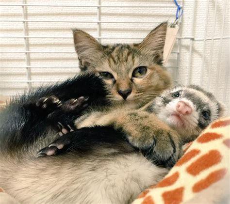 komari le chaton qui se prend pour un furet insolite