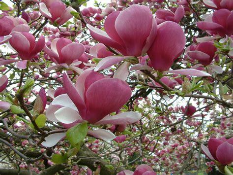magnolia tree pink flower wallpaper  desktop  wallpaperscom
