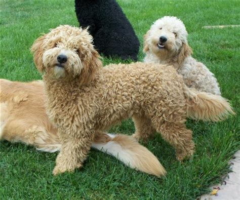 mini doodle wiki summer cut for golden doodles newhairstylesformen2014