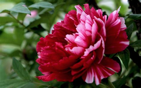 fiore peonia peonie