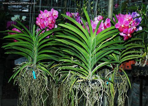 Pot Anggrek Vanda vanda vanda orchids check jim s yard