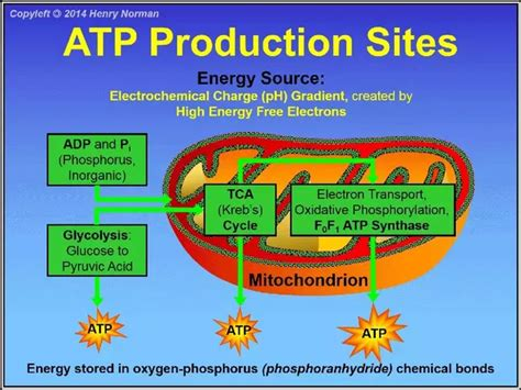 carbohydrates in atp production where do mitochondria get their energy from quora