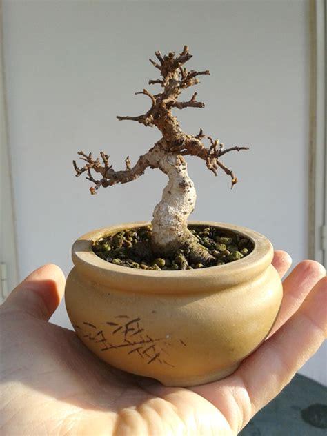 vasi bonsai cinesi bonsai mame da talea di olmo cinese