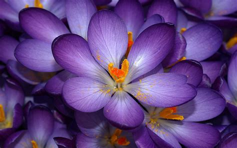 purple flower wallpaper uk wallpapers purple crocus flowers wallpapers