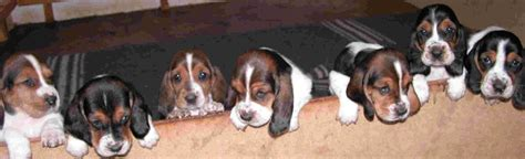 basset hound puppies indiana puppies from basset hound breeders in south africa