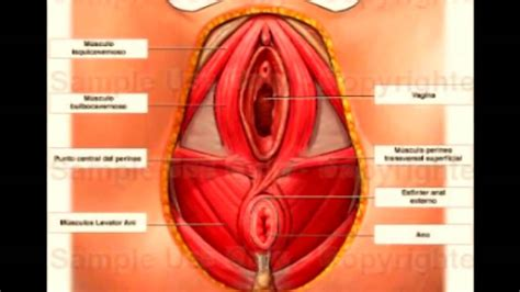 aparato reproductor masculino youtube anatomia del aparato reproductor femenino youtube