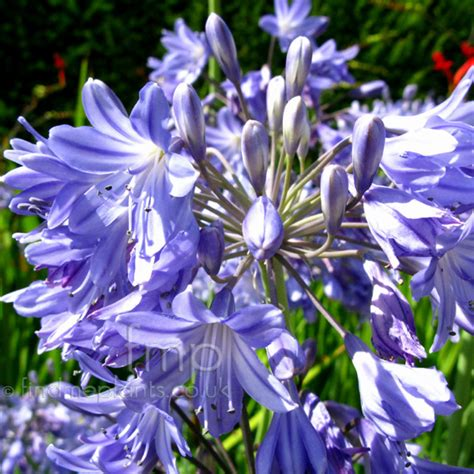Net Name Search Florida A Large Image Of Agapanthus Penelopepalmer Fl From Plant Encyclopedia