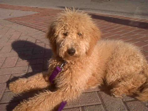 summer cuts golden doodle goldendoodle summer cut pictures newhairstylesformen2014 com