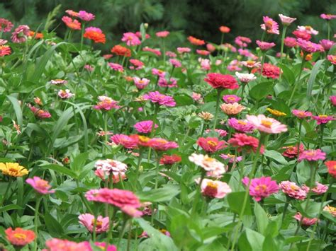 Images Of Flowers Garden Zinnias Flowers Gardening