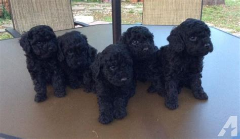 poodle puppies price price reduced miniature poodle puppies for sale in navasota classified