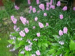 Garden Flowering Shrubs Jarvis House Purple Flowering Shrubs In September At The Jarvis Garden