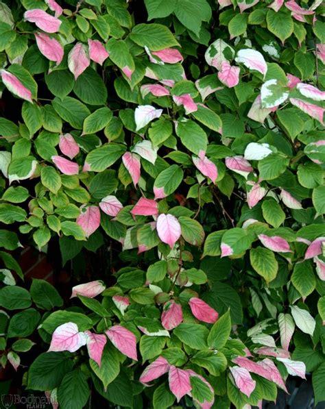 climbing plants for south facing walls actinidia kolomikta climbers plant centre bodnant
