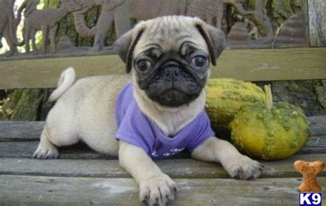 black pug puppies for sale in wisconsin pug stud in united kingdom breeds picture