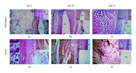 why are histological sections stained histological sections and h e staining of the pva hydrogel