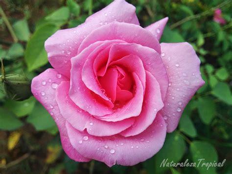 imagenes de rosa y mas naturaleza tropical rosas las flores m 225 s utilizadas para