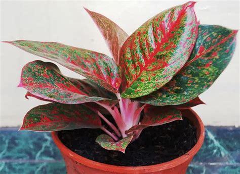 bunga aglaonema stardust jenis tanaman terbaru