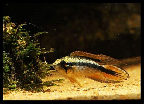 Ikan Apisto Agassizi Gold Apistogramma Agassizi Gold apistogramma agassizii apisto s