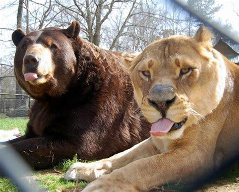 lion tiger bear   friends ny daily news