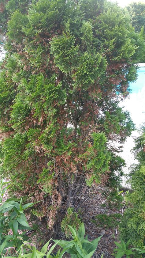 Garden Spider Dying Need Advice On Arborvitae Trees That Seem To Be Dying