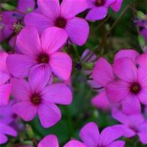 new jersey state flower wood violet home pinterest image gallery new jersey state flower