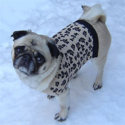 pug sweater pug leopard sweater pugs photo 33645375 fanpop