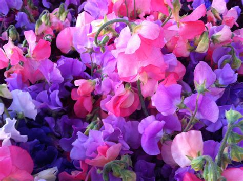 1000 images about sweet peas on pinterest