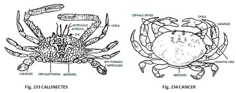 structure  crabs  diagram zoology