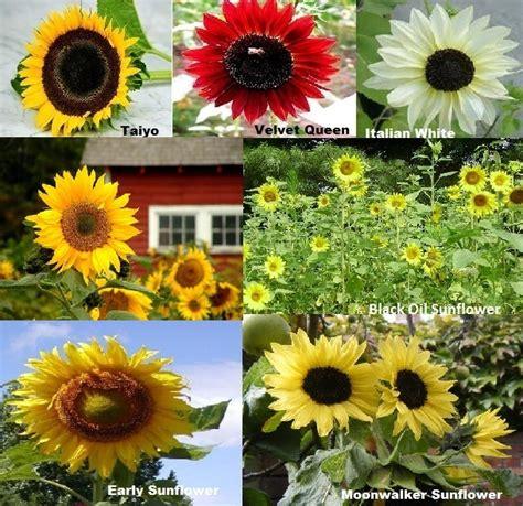 Paket Hemat Benih Bibit Seed Matahari Isi 9 Jenis Sunflower Seed jual paket hemat benih bunga matahari isi 7 jenis sunflower seed amefurashi