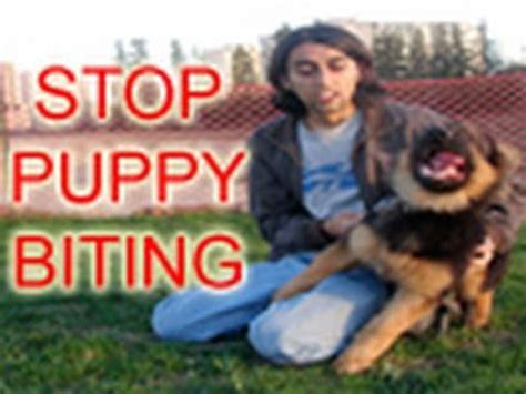how to your to stop chewing on things how to stop a puppy from biting in 6 easy steps doovi