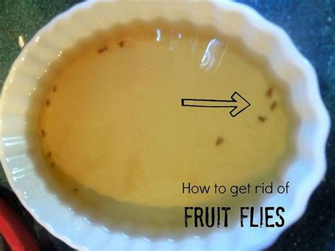 how to get rid of fruit flies in bathroom how to get rid of fruit flies with vinegar