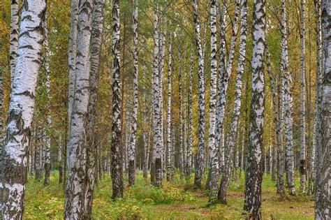 photo 1669 22 birch trees in eastern part of sosnovka