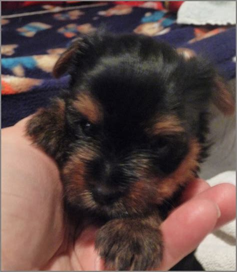 yorkie puppies for sale montreal i want to buy teacup yorkie miniature terrier auto design tech