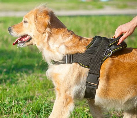 small golden retriever uk walking leash muzzle harness collar lead store uk