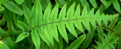 Tropical Forest Plant - what is polypodium leucotomos fern extract sunsafe rx