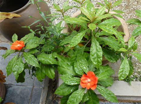 Tanaman Obat Daun Tujuh Jarum pokok bunga jarum tujuh bilah 7 bintang pereskia sacharosa untuk dijual murah di kuala